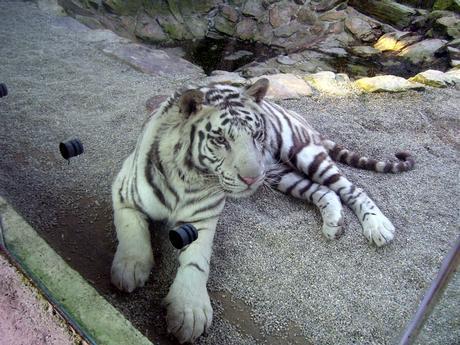 bílý tygr..zoo Liberec