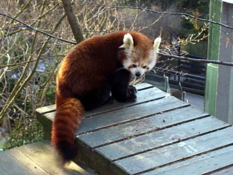panda červená zoo Liberec