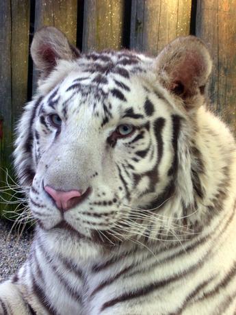 bílý tygr