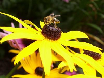 včelka